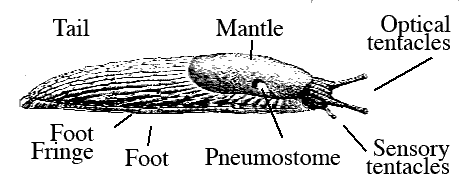 about_the_slug:about_the_slug [Banana Slug Genomics]